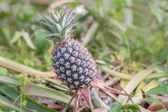 Pineapple tropical fruit growing in home garden Stock Photo