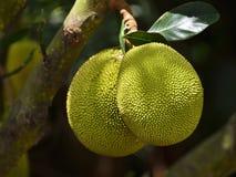 Pineapple Royalty Free Stock Image