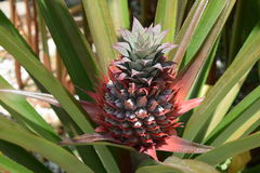 Pineapple. Tropical pineapple plant is blooming and producing fruit Stock Photography