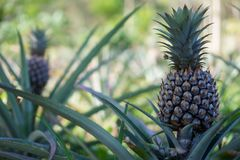 The pineapple is a tropical plant with an edible multiple fruit consisting of coalesced berries, also called pineapples royalty free stock image