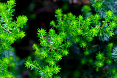 Pineapple Weed, tiny flowers. Stock Images