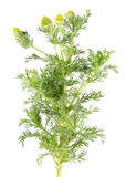 Pineapple weed or wild chamomile or Matricaria discoidea isolated on white background. Medicinal plant. Isolated on white background stock image