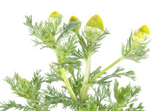 Pineapple weed or wild chamomile or Matricaria discoidea isolated on white background. Medicinal plant. Isolated on white background royalty free stock photos