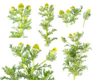 Pineapple weed or wild chamomile & x28;Matricaria discoidea& x29; isolated on white background. Medicinal plant. Isolated on white background stock photo