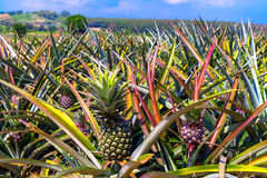 Pineapplefield. Royalty Free Stock Image
