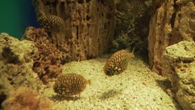 Pineapplefish Cleidopus gloriamaris is species of fish in the family Monocentridae stock footage video. Pineapplefish Cleidopus gloriamaris is a species of fish stock video