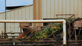 Pineapples on a conveyor belt. At the dole plantation factory, oahu hawaii stock video