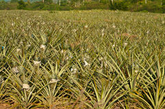 Pineapples field Stock Photography