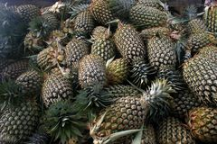 Pineapples in Fiji. Open fields full of pineapples stock images