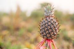 Pineapples fruit raw Stock Photos