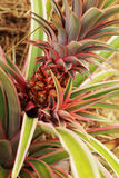 Pineapples growing in the nature. Stock Photography
