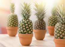 Pineapples In Flower Pots Stock Photography
