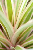 Pineapples leaves Royalty Free Stock Image