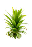 Pineapples leaves on white Royalty Free Stock Photos