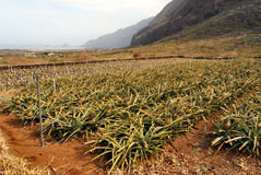 Pineapples Plantation in El Hierro Royalty Free Stock Photo