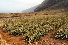 Pineapples Plantation in El Hierro royalty free stock photo