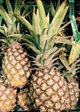 Pineapples. Set of many pineapples in Colors royalty free stock images