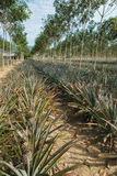 Pineapples on tropical fruit field Royalty Free Stock Image