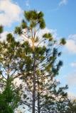 Pinecone στο δέντρο Στοκ Εικόνες
