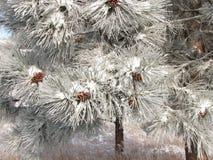 Pinecone το χειμώνα Στοκ Φωτογραφία