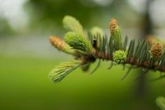 Pinecone, φύση Στοκ Εικόνες