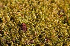pinecone мха Стоковая Фотография RF