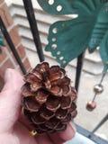 Pinecone 6 стоковое фото