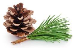 Pinecone с листьями Стоковая Фотография