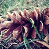 Pinecone Стоковые Изображения RF