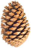 Pinecone. Single pinecone isolated on white Royalty Free Stock Photography