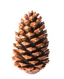 pinecone Obraz Royalty Free