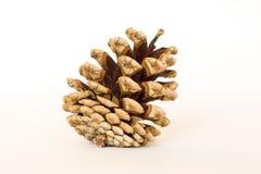 Pinecone Imagen de archivo libre de regalías