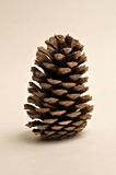 Pinecone Royalty Free Stock Images