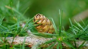 Pinecone Royaltyfri Bild