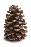 Pinecone Stockbilder