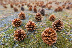 Pinecone Royalty-vrije Stock Foto