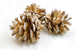 Pinecone Obrazy Royalty Free