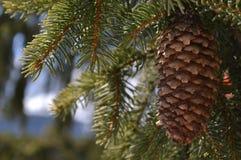 Pinecone Imagen de archivo