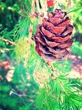 Pinecone Fotos de archivo