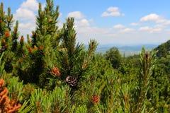 Pinecone Стоковое Изображение