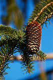 Pinecone Stockfoto