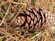 Pinecone Royalty-vrije Stock Fotografie