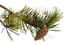 Pinecone Stockbild