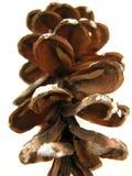 pinecone Zdjęcie Royalty Free