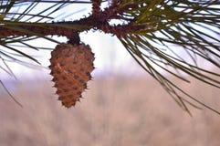 Pinecone Стоковые Фотографии RF