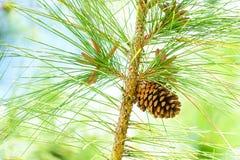Pinecone Photographie stock libre de droits
