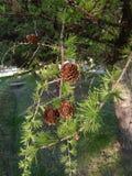Pinecone Стоковое фото RF