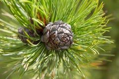 Pinecone Стоковые Фото