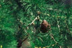 Pinecone Стоковые Изображения