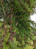 pinecone Anfänge lizenzfreie stockfotografie